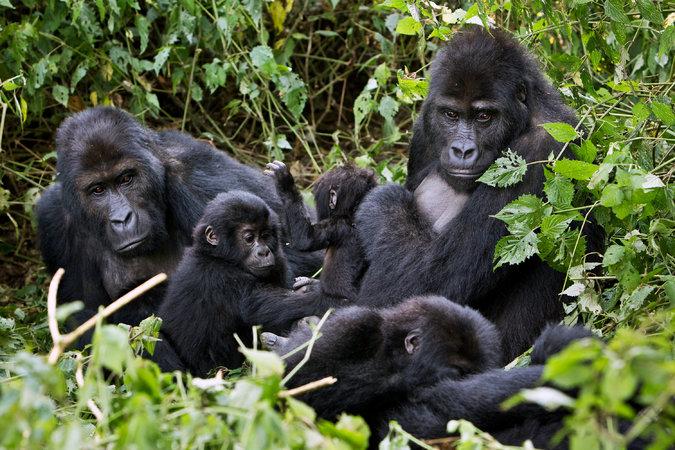Kanye West & Kim Kardashian Gorilla Trekking